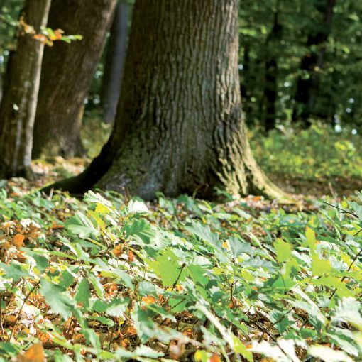 Hrast v gozdu - neizčrpen vir za vrhunske masivne lesene pode